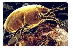 Alergia a ácaros