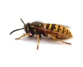 Alergia a veneno de himenópteros