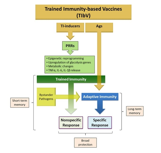 Vacunas inmunidad entrenada